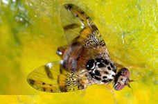 Se amplía la campaña contra la mosca de la fruta a ciertas variedades de uva de mesa , Foto 1
